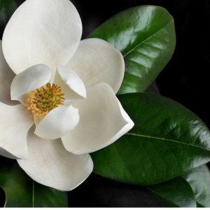 Magnolia Native Tree Flower